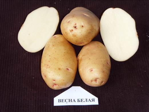 картофель весна белая фото