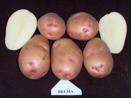 картофель весна фото