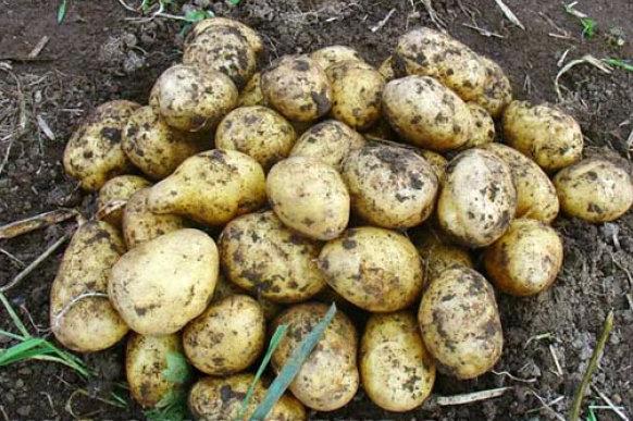 картофель аноста фото