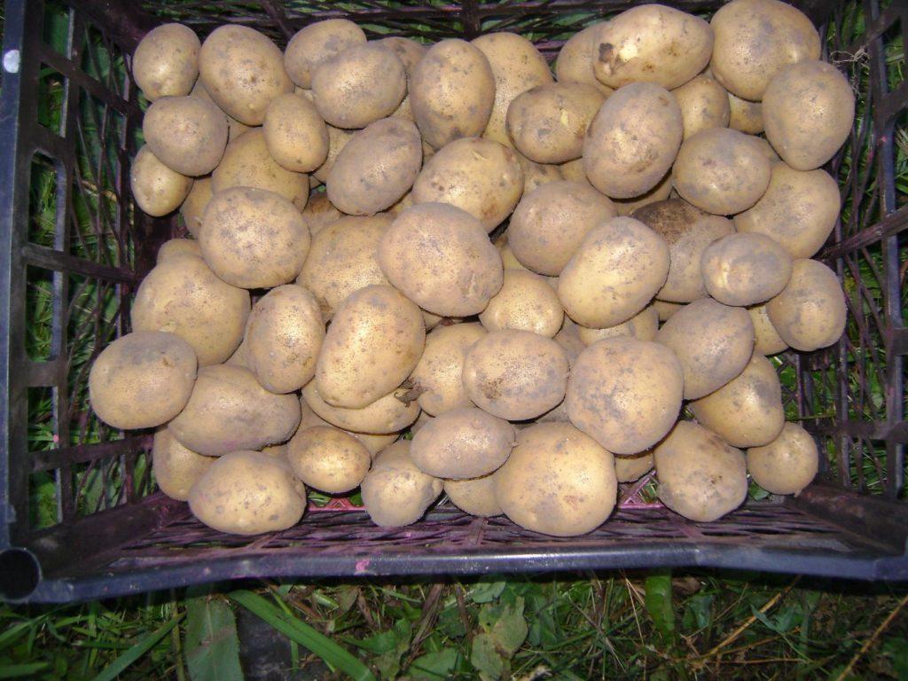 Престиж от колорадского жука на картофеле