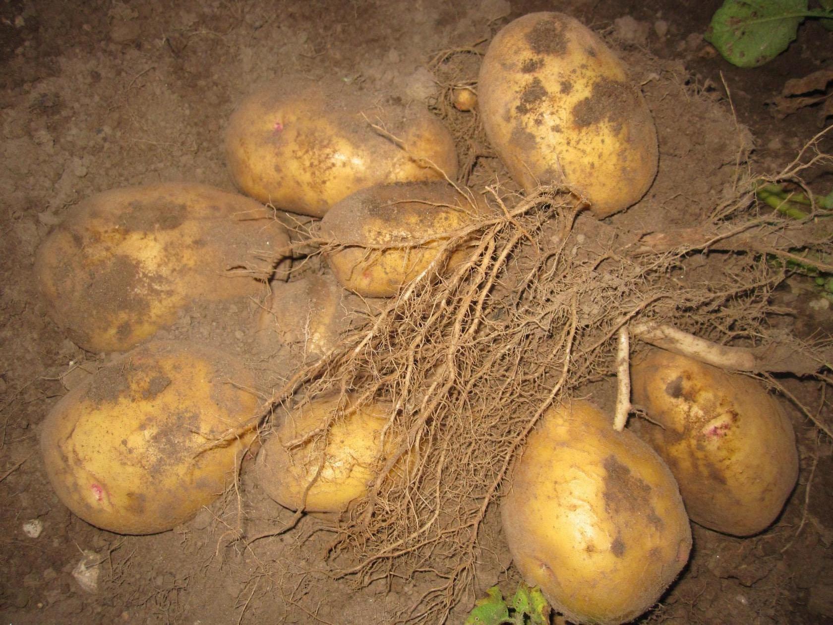 Выращивание картофеля с нуля 79