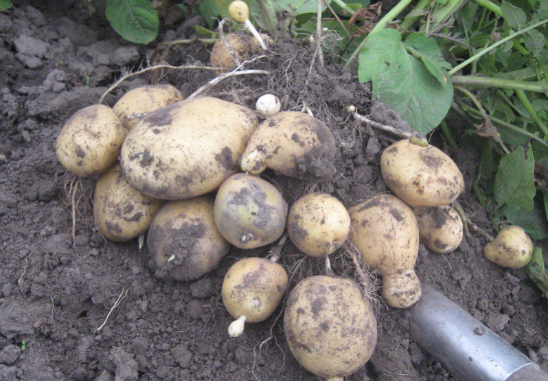 Самый вкусный желтый картофель