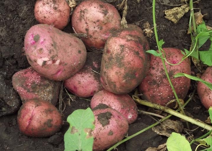 картофель Журавинка