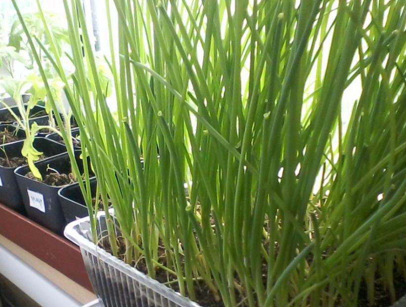 Первая весенняя витаминная зелень - лук батун