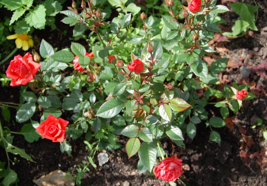 Препарат Молния от жука на картофеле и вредителей на розах