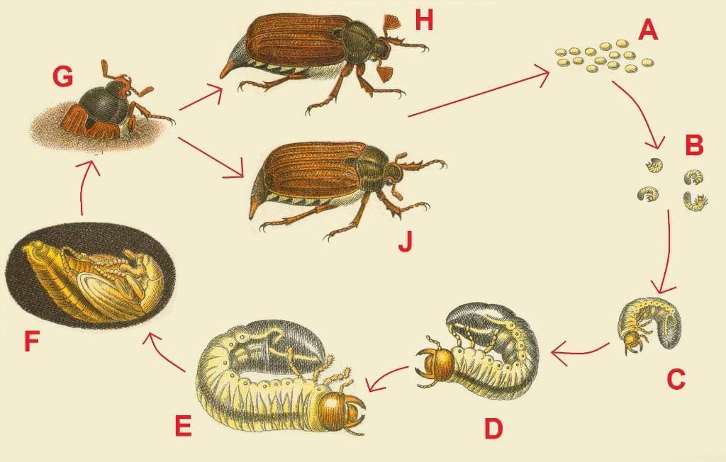 стадии развития майского жука