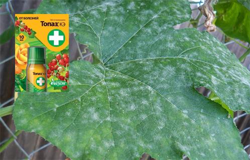 Фунгицид Топаз инструкция по применению для огурцов винограда роз от болезней растений аналоги совместимость