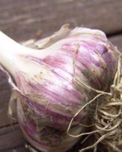 чеснок юбилейный грибовский