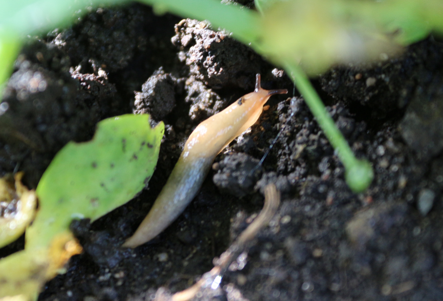 борьба со слизнями на огороде