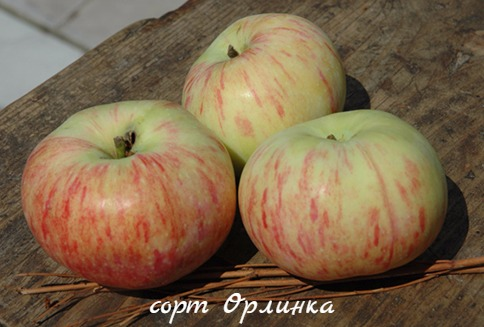 яблоня Орлинка фото