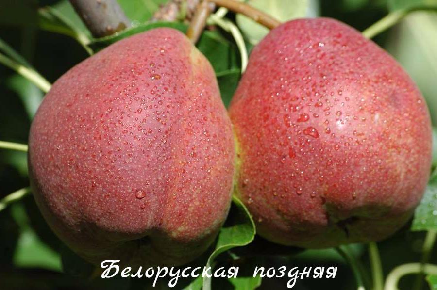 груша белорусская поздняя фото