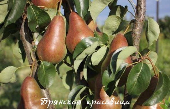 груша брянская красавица фото
