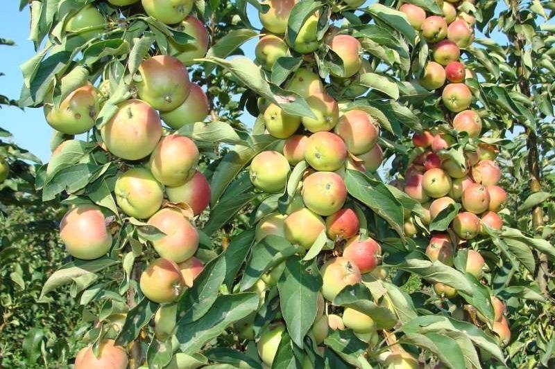 колоновидные яблони фото описание отзывы