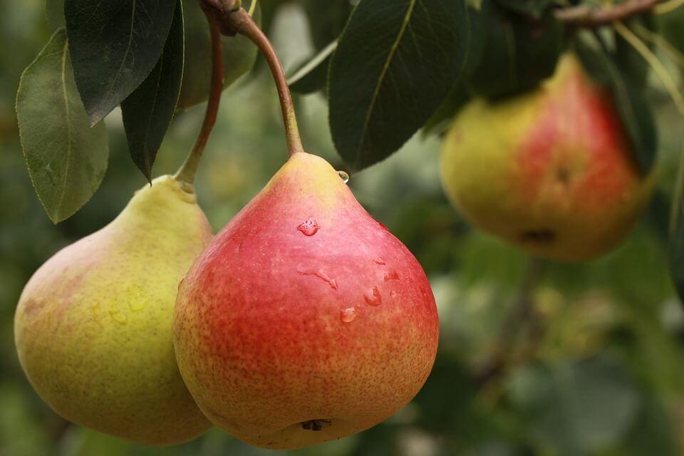 Стабильно плодоносит груша сорта Детская