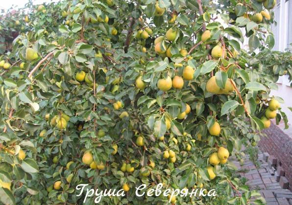 груша северянка фото дерева с плодами