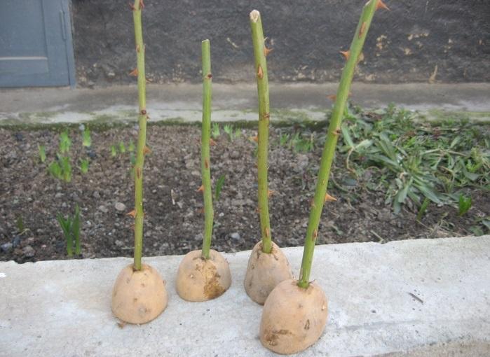 розы в картофеле черенки фото
