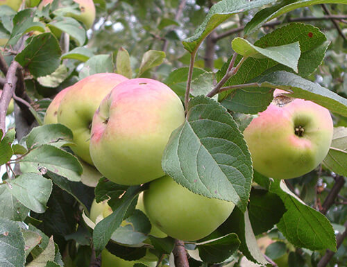 Сорт яблони Имрус