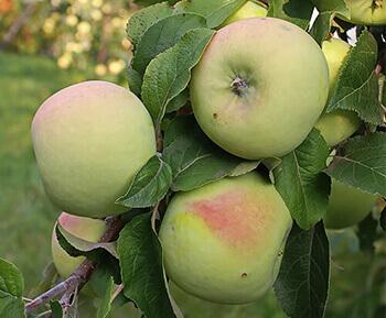 сорта зеленых яблок