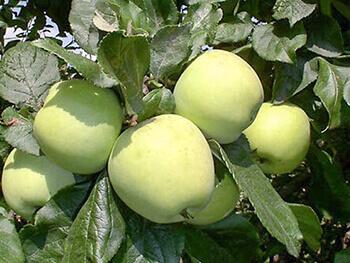 сорта зимних яблонь