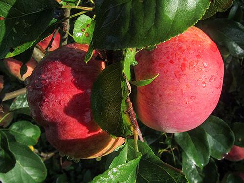 вкусные сорта яблок фото