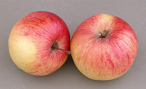 Сорт яблони Уэлси