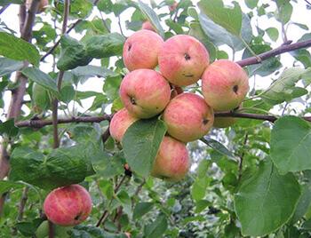 Сорт яблони Уралец фото