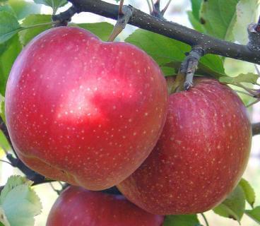 популярные сорта яблок