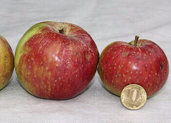 Сорт яблони Бежин луг