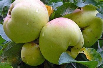 сорта яблок популярные