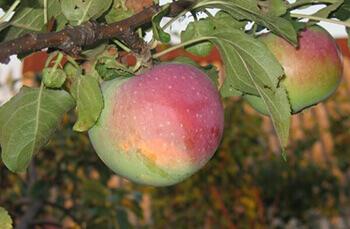 Сорт яблони Студенческое