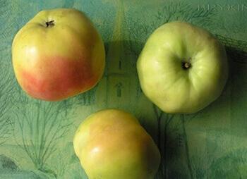 Сорт яблони Куйбышевское