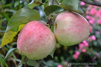 Сорт яблони Курнаковское