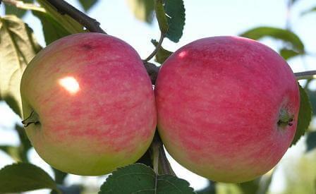 Сорт яблонь фото