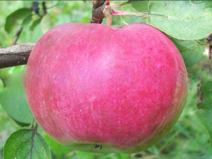 сорта красных яблок