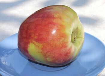 сорта яблоку с фото