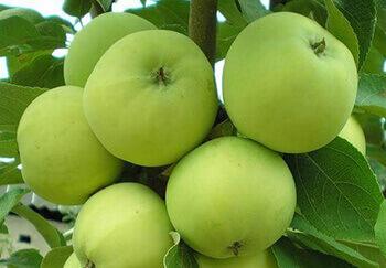 сорта яблок фото