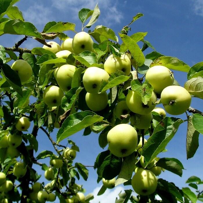 лучшие сорта яблонь