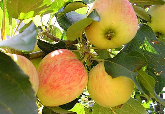 Сорт яблони Ренет татарский