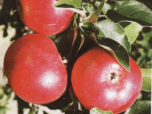 Сорт яблонь лучшие