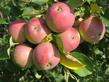 Сорт яблони Вишнёвое