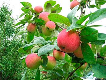 Сорт яблони Утёс