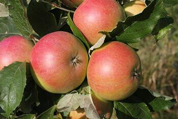 поздние сорта яблок