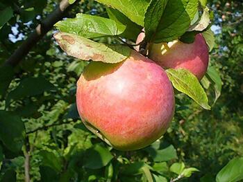 Сорт яблони Здоровье