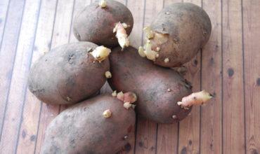 проращивание картофеля фото с ростками