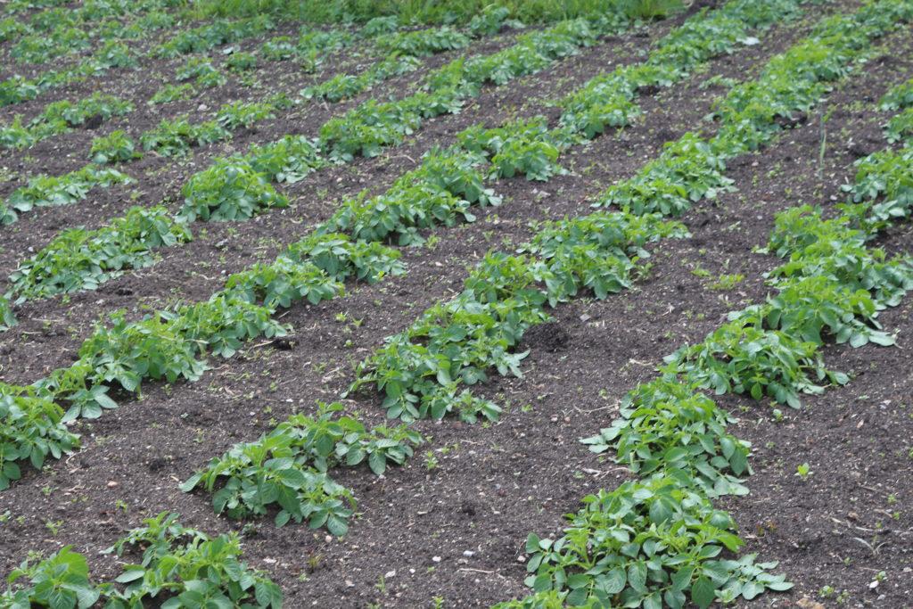 Когда сажать картофель в 2018 году: благоприятные дни в мае