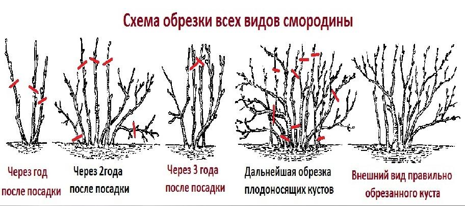 схема обрезки черной смородины в картинках