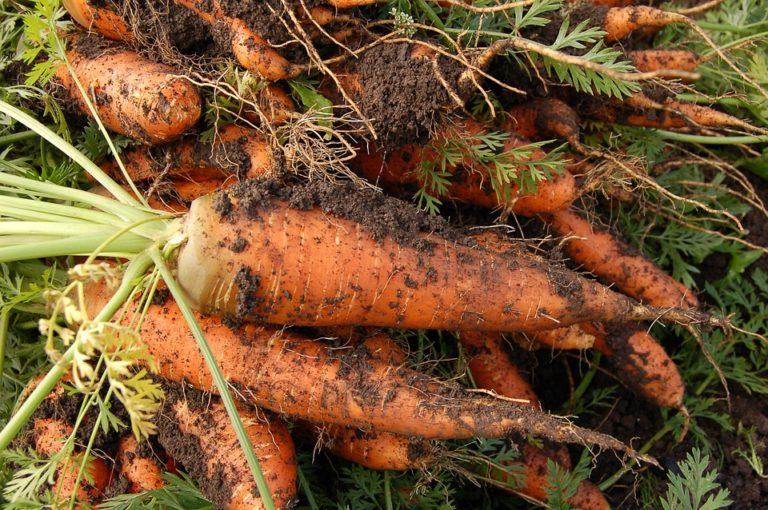 Когда сажать морковь в крыму 53