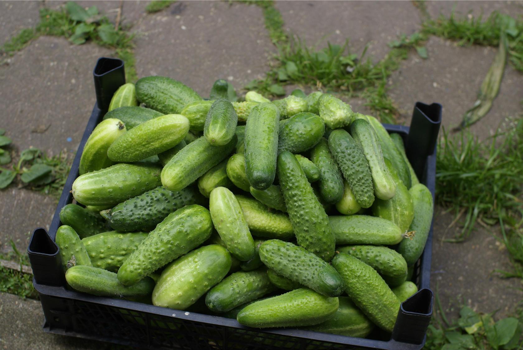 Огурцы пустые внутри — причины, 5 ошибок садовода