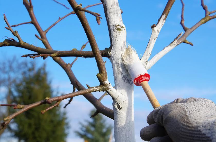 побелка деревьев в феврале