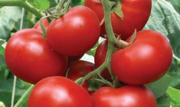 помидоры 2019 новые сорта